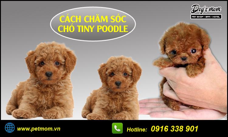 Cách nuôi chó tiny poodle